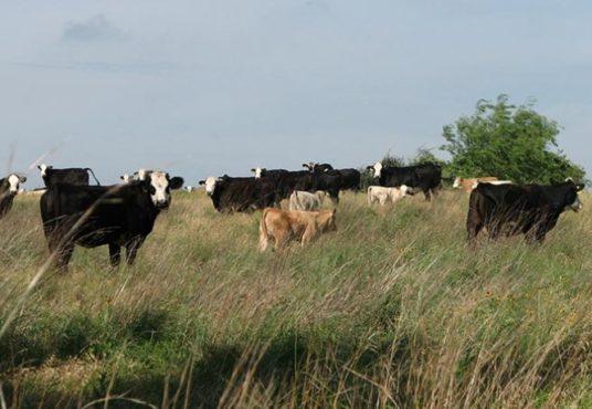 cattles texas