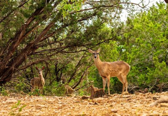 Deer-HillCountry-710x400