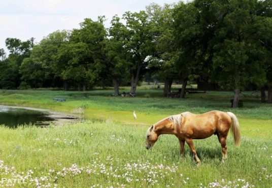 texas-grazing-horse-with-egret
